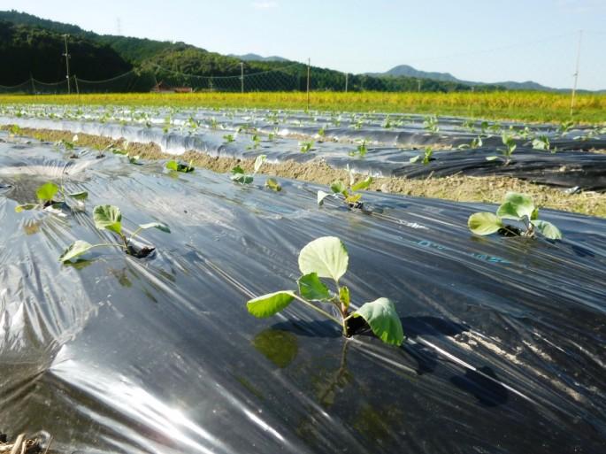 冬野菜の植え付け1