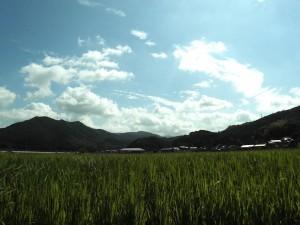 2017稲刈り案内3