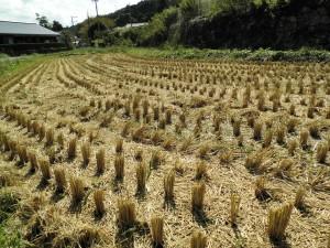 2017稲刈り案内4